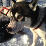 An intent stare from the beautiful husky dog in the Arctic