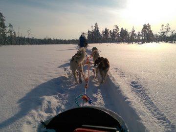 Husky Dog Sledge Ride
