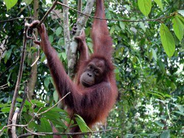 Orangutan gazing towards the camera as it hangs in a nearby tree.
